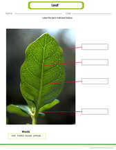 learn to draw and label parts of a leaf worksheet, midrip, vein, blade etc